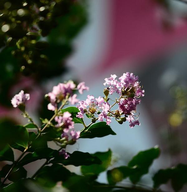 紫薇(图片来自维基百科)